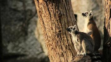 lemuri dalla coda ad anelli video