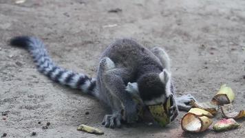 lemur catta comiendo plátano durante el día hd.
