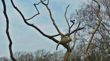 lemure playin sull'albero con cielo blu sullo sfondo