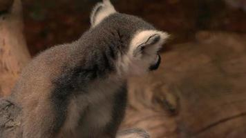 lemur, watching all around video