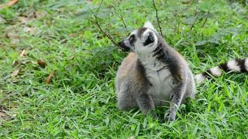 Lemur sits on grass
