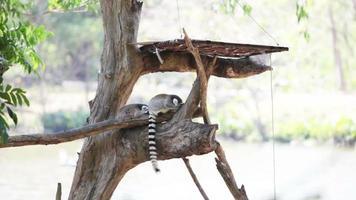 lemure seduto sull'albero