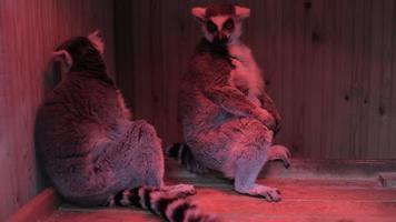 Two grey lemurs sitting close up