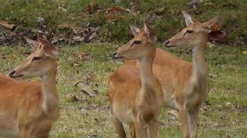 Hirsche im Naturschutzgebiet Thailand video