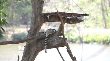 Lemur sitzt auf dem Baum