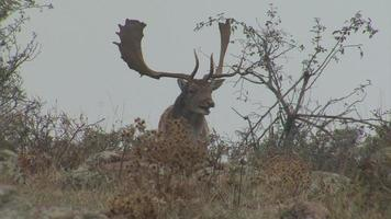 Male Fallow Deer in early foggy morning in the mountain. video