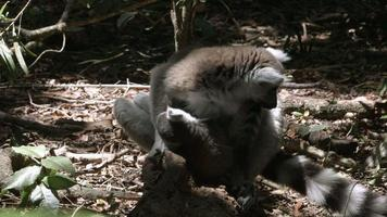 Lemur suckling her young.