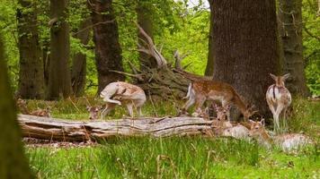 Ciervos en barbecho en Richmond Park