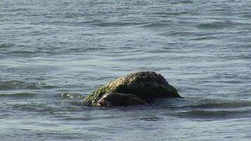 Nutria marina cazando y comiendo pescado en el agua. video