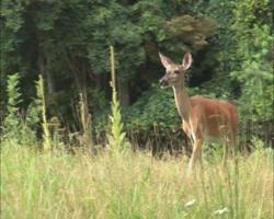 PAL: Deer walking
