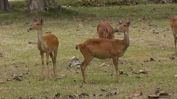 ciervos en el santuario de vida silvestre de Tailandia