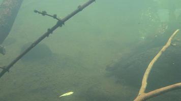 Nutria marina captura de peces bajo el agua video