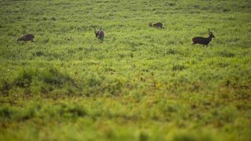 Deer walking on green grass field