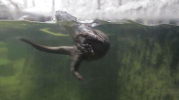 lontra nadando e brincando video