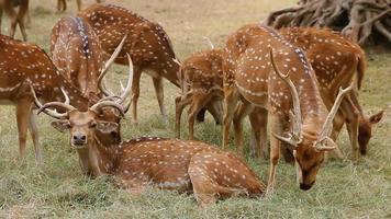 WhiteTail Deers Grazing