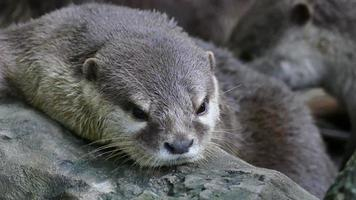 small clawed otter resting on rock