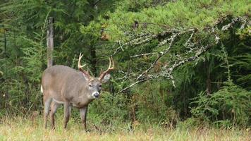 Large white-tailed deer buck video