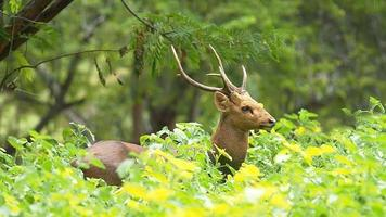 Deer walking in field and forest.