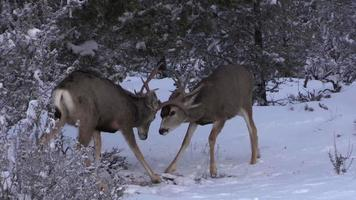 cervo mulo bucks combattimenti video