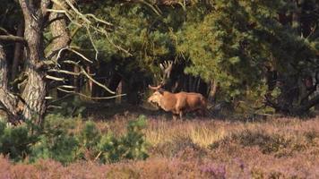 cervo vermelho berrando video