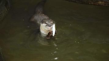 lontra mangia piccoli pesci in uno stagno