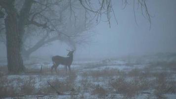 alerta whitetail fanfarrão na tempestade de neve