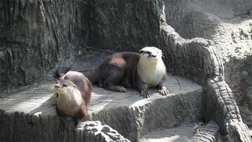 coppia lontra che dorme e si rilassa a terra, in hd