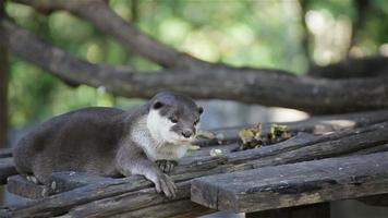 una lontra che dorme e si rilassa sul bosco, in hd