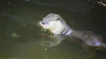 lontra mangia piccoli pesci nello stagno, in hd