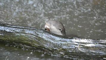 lontra gioca nell'acqua video