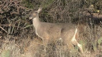 Veado mastigando no deserto de Sonora