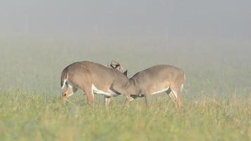 Two whitetail deer bucks sparring on a foggy morning video