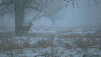Whitetail Buck na tempestade de neve video