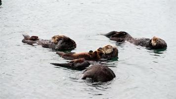 lontra marinha adulta com criança / bebê nas algas em um dia frio e chuvoso em Big Sur video