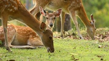 group of sika deer