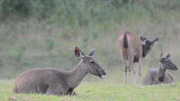 Sambar Deer in Khao Yai National Park, Thailand