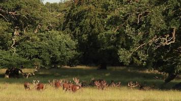 red deer - Rothirsch - Cervus elaphus video