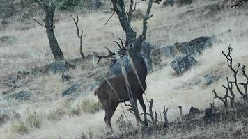 ciervo en andalucía