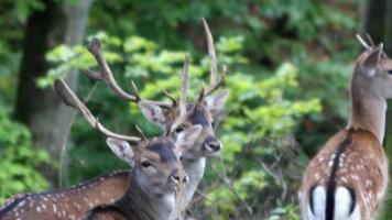 Wild deer herd in woods