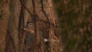 White-Tailed Deer #4 1080p HD video