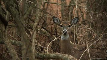 White-Tailed Deer #17 1080p HD video