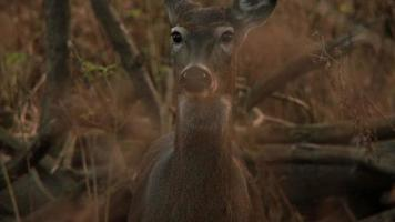 White-Tailed Deer #7 1080p HD video