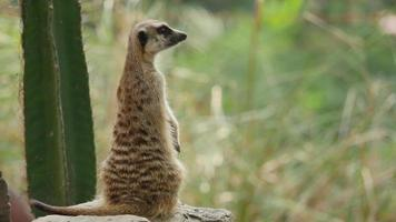 Meerkat. video