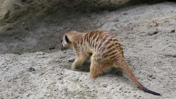 suricato adulto cavando areia