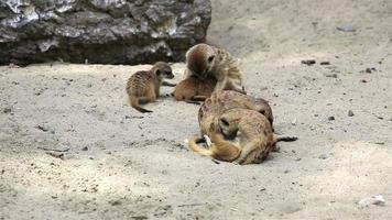 divertida familia de suricatas con cachorros. video