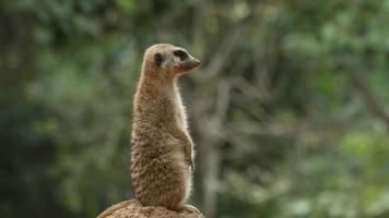 meerkat sentry