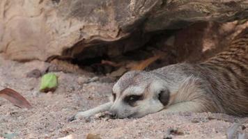 meerkat sleeping video