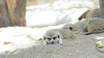 suricati animali video