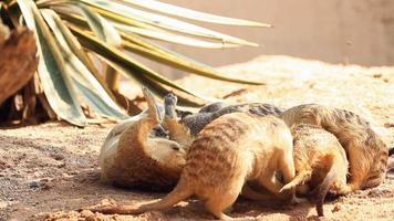 Meerkats playing video