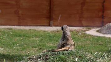 meerkat watching
